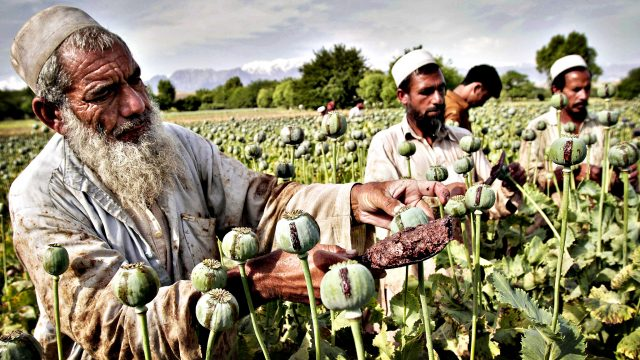 Afghan farmers collect raw opium as they work in a poppy field in Khogyani district of Jalalabad, east of Kabul, Afghanistan, Friday, May 10, 2013. Opium poppy cultivation has been increasing for a third year in a row and is heading for a record high, the U.N. said in a report. Poppy cultivation is also dramatically increasing in areas of the southern Taliban heartland, the report showed, especially in regions where thousands of U.S.-led coalition troops have been withdrawn or are in the process of departing. The report indicates that whatever international efforts have been made to wean local farmers off the crop have failed. (AP Photo/Rahmat Gul)